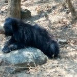 Black Bear-Bannerghatta National Park