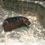 Hippopotamus-Bannerghatta National Park