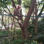 Monkey-Bannerghatta National Park