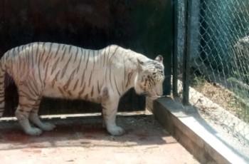 White Tiger at Safari-Bannerghatta National Park